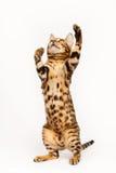 Gioco del gatto del Bengala Fotografia Stock Libera da Diritti
