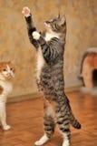 Gioco del gatto di soriano Fotografia Stock