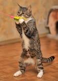 Gioco del gatto di soriano Immagine Stock Libera da Diritti