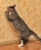 Gioco del gatto di soriano Immagini Stock Libere da Diritti