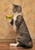 Gioco del gatto di soriano Immagine Stock