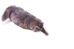 Gioco del gatto nell'azione Fotografie Stock Libere da Diritti