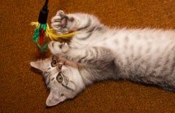 Gioco del gatto purulento Fotografie Stock Libere da Diritti