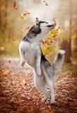 Gioco del husky siberiano con le foglie Fotografie Stock