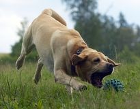 Gioco del Labrador Fotografie Stock Libere da Diritti