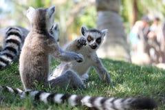 Gioco del Lemur Immagini Stock