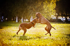 Gioco del ridgeback dei due cani Immagini Stock Libere da Diritti