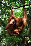 Gioco dell'orangutan del bambino (pygmaeus del Pongo). Fotografie Stock