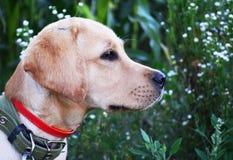 Gioco dell'oro di labrador retriever nel campo all'aperto Fotografia Stock Libera da Diritti