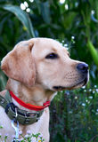 Gioco dell'oro di labrador retriever nel campo all'aperto Immagini Stock Libere da Diritti