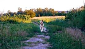 Gioco dell'oro di labrador retriever nel campo all'aperto Immagine Stock Libera da Diritti
