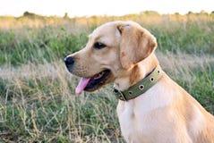 Gioco dell'oro di labrador retriever nel campo all'aperto Fotografie Stock