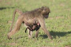 Gioco della famiglia del babbuino per rinforzare i legami divertendosi in natura Fotografia Stock