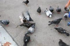 Gioco della gente con il piccione in atene fotografia stock libera da diritti