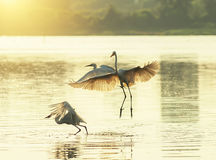 Gioco delle egrette nel tramonto Fotografie Stock Libere da Diritti