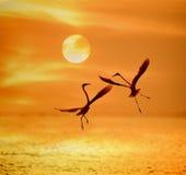 Gioco delle egrette nel tramonto Immagini Stock Libere da Diritti