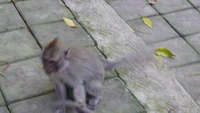 Gioco delle scimmie in Bali stock footage