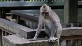 Gioco delle scimmie in Bali video d archivio