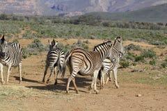 Gioco delle zebre del Sudafrica Fotografie Stock Libere da Diritti