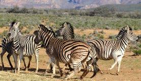 Gioco delle zebre del Sudafrica Fotografia Stock