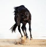 Gioco dello stallone nero del trakehner Fotografie Stock