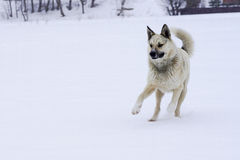 Gioco di buon umore del cane solo della via con il bastone Immagini Stock Libere da Diritti