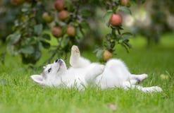 Gioco di Husky Puppy del siberiano su erba Fotografie Stock