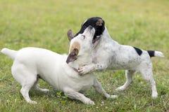 Gioco di Jack Russell Terrier del cucciolo Immagini Stock