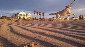 Gioco di Labrador Fotografia Stock