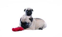 Gioco di Mopsa dei cuccioli con un fiore rosso tricottato su un fondo bianco Fotografia Stock Libera da Diritti
