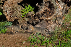 Gioco di tre Grey Fox Kits (cinereoargenteus di urocyon) dal ceppo Fotografia Stock Libera da Diritti