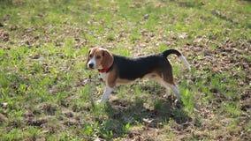 Gioco divertente del cane del cane da lepre su erba verde nel giorno soleggiato archivi video