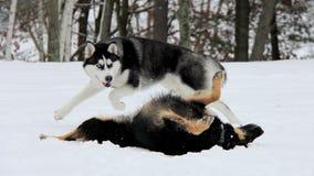 gioco due dei cani Fotografie Stock Libere da Diritti