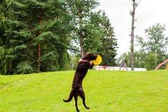 Gioco e salto del cane Fotografia Stock Libera da Diritti