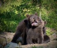 Gioco euroasiatico dei cuccioli di orso bruno Immagine Stock