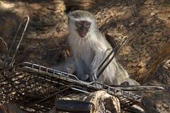Gioco giovanile della scimmia di Vervet sul gridr del barbecue Fotografia Stock