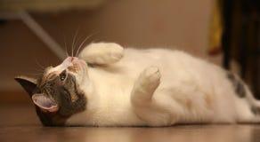 Gioco grasso del gatto Fotografia Stock