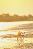 Gioco i del cane del Terrier di Staffordshire americano Fotografia Stock Libera da Diritti