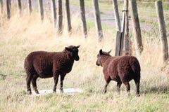 Gioco lanuginoso dei fratelli e delle sorelle dei cappotti delle pecore di Brown fotografie stock