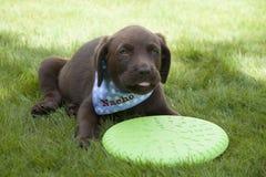 Gioco marrone dolce del cucciolo di labrador Fotografie Stock