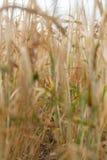 Gioco nei campi del primo piano dei raccolti Fotografia Stock Libera da Diritti