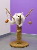 Gioco persiano del gattino Immagini Stock Libere da Diritti