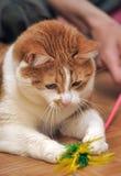 Gioco rosso & bianco del gatto Fotografia Stock