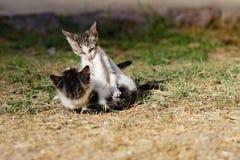 Gioco senza tetto dei gattini Fotografia Stock Libera da Diritti