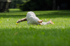 Gioco sveglio dei gatti Fotografie Stock
