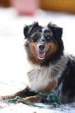 Gioco sveglio del cane con il suo giocattolo Fotografia Stock Libera da Diritti