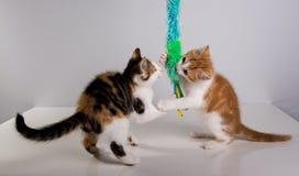 Gioco sveglio di due un piccolo gattini Immagine Stock Libera da Diritti