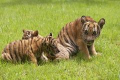 Gioco tra l'India e la Cina delle tigri del bambino sull'erba Fotografie Stock Libere da Diritti