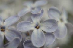 Gioia lilla Fotografia Stock