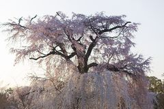 Gion som gråter det körsbärsröda trädet under hanamien i Kyoto på den exponerade natten royaltyfri fotografi